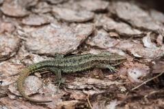 Bergeidechse / Waldeidechse Zootoca vivipara 2