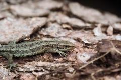 Bergeidechse / Waldeidechse Zootoca vivipara 1