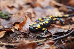 Feuersalamander Salamandra salamandra 3