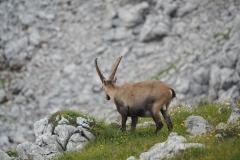 Steinbock Capra ibex 4