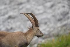 Steinbock Capra ibex 6