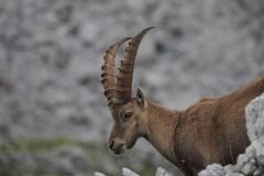Steinbock Capra ibex 2