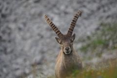Steinbock Capra ibex 8