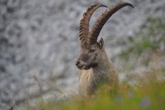 Steinbock Capra ibex 3