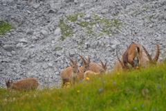 Steinbock Capra ibex 9