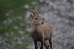 Steinbock Capra ibex 1