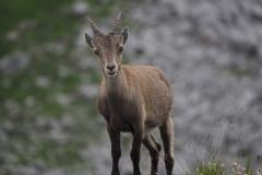 Steinbock Capra ibex 10