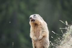 Alpenmurmeltier Marmota marmota 1