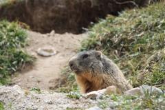 Alpenmurmeltier Marmota marmota 2
