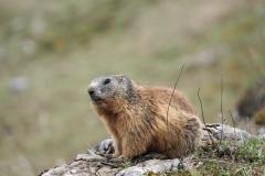 Alpenmurmeltier Marmota marmota 4