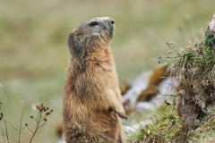 Alpenmurmeltier Marmota marmota 6
