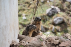 Alpenmurmeltier Marmota marmota 5