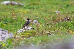 Schwarzspecht Dryocopus martius ©Hansruedi Weyrich